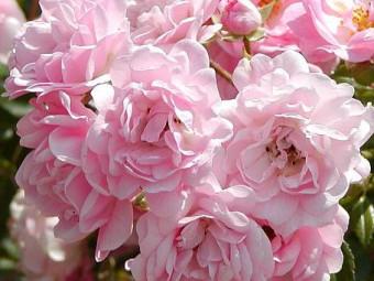 Terülő rózsa