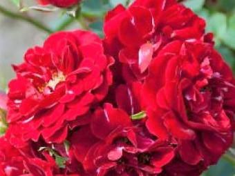 Rot fairy rózsa