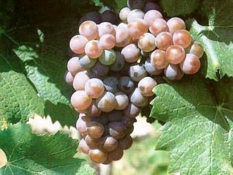 Rozália fehér borszőlő
