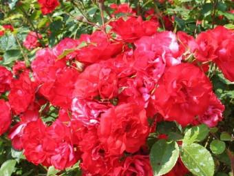 La Sevillana floribunda rózsa