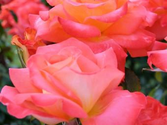 Magastörzsű rózsák
