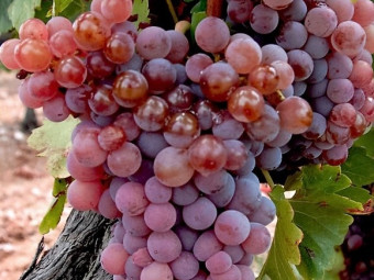 Ruby King Seedless mag nélküli csemegeszőlő