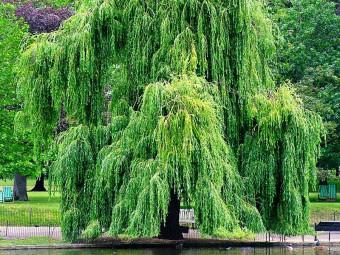Szomorú fűzfa