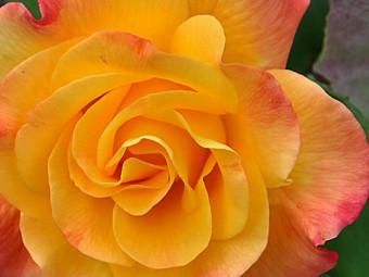 Samba polyantha rózsa