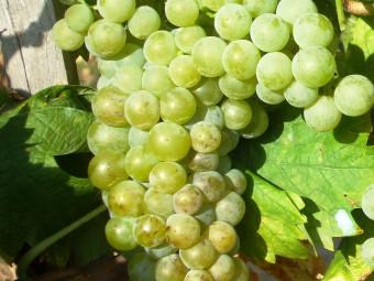 Sárga muskotály fehér borszőlő