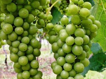 Sauvignon Blanc fehér borszőlő