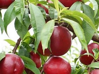 Silver Prolific TÖRPE BALKON nektarin