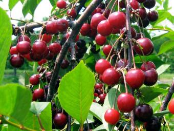 Solymári gömbölyű cseresznye