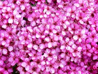Rózsaszín virágú gyöngyvessző