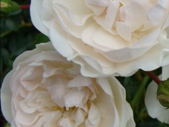 Swany talajtakaró rózsa