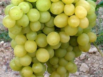 Szőlőskertek királynője csemegeszőlő