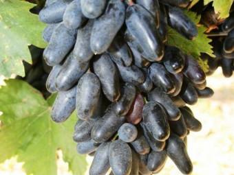 Suvenír csemegeszőlő