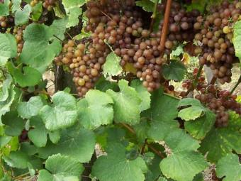 Tramini fehér borszőlő