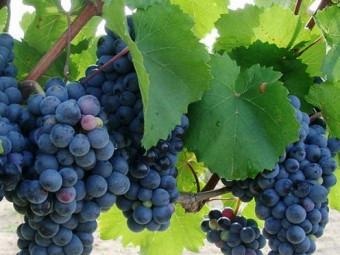 Turán vörös borszőlő