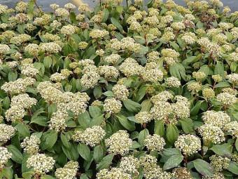 Fahéj levelű bangita
