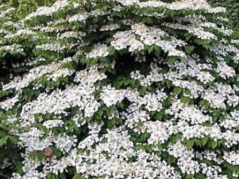 Törpe redős levelű bangita