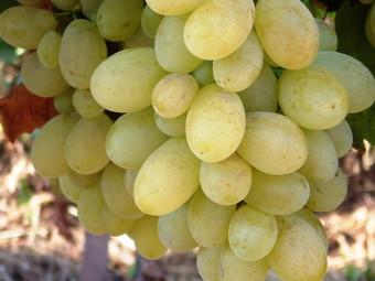 Viktória csemegeszőlő