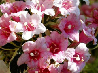 Tarka levelű törpe rózsalonc