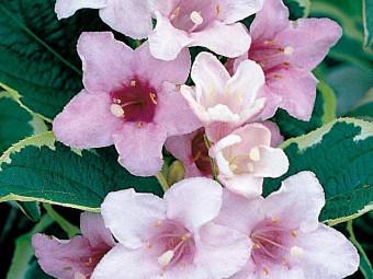 Tarka levelű rózsalonc