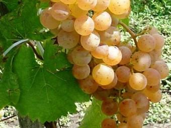 Zalagyöngye fehér borszőlő /rezisztens/