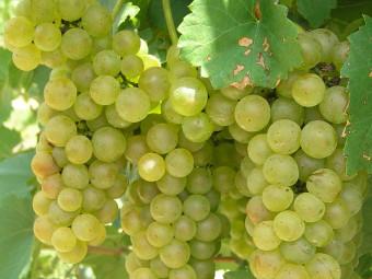 Zengő fehér borszőlő