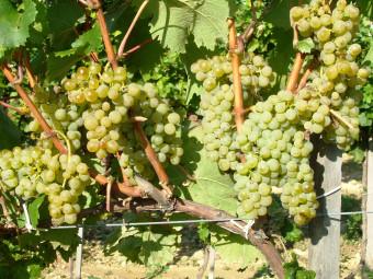 Zenit fehér borszőlő