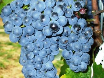 Zweigelt vörös borszőlő