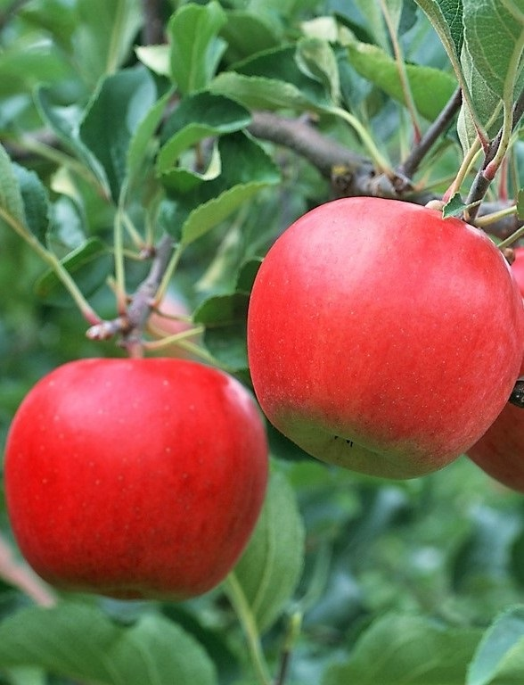 Tordai piros kálvil alma