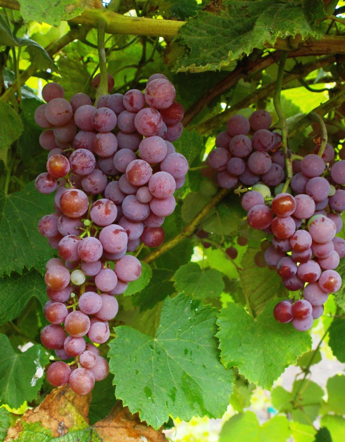 Tramini vörös borszőlő