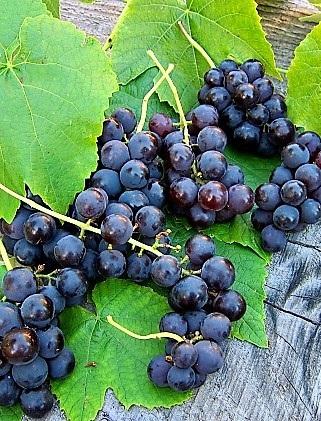 Vénusz mag nélküli rezisztens csemegeszőlő