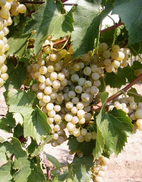 Viktória Gyöngye fehér borszőlő