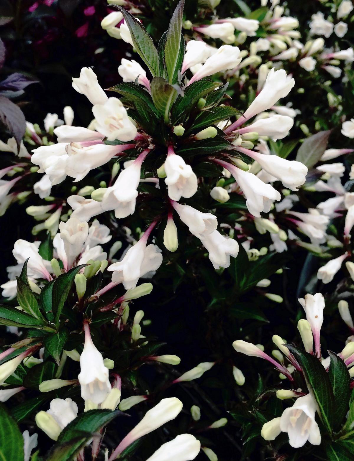 Rózsalonc fekete fehér változat