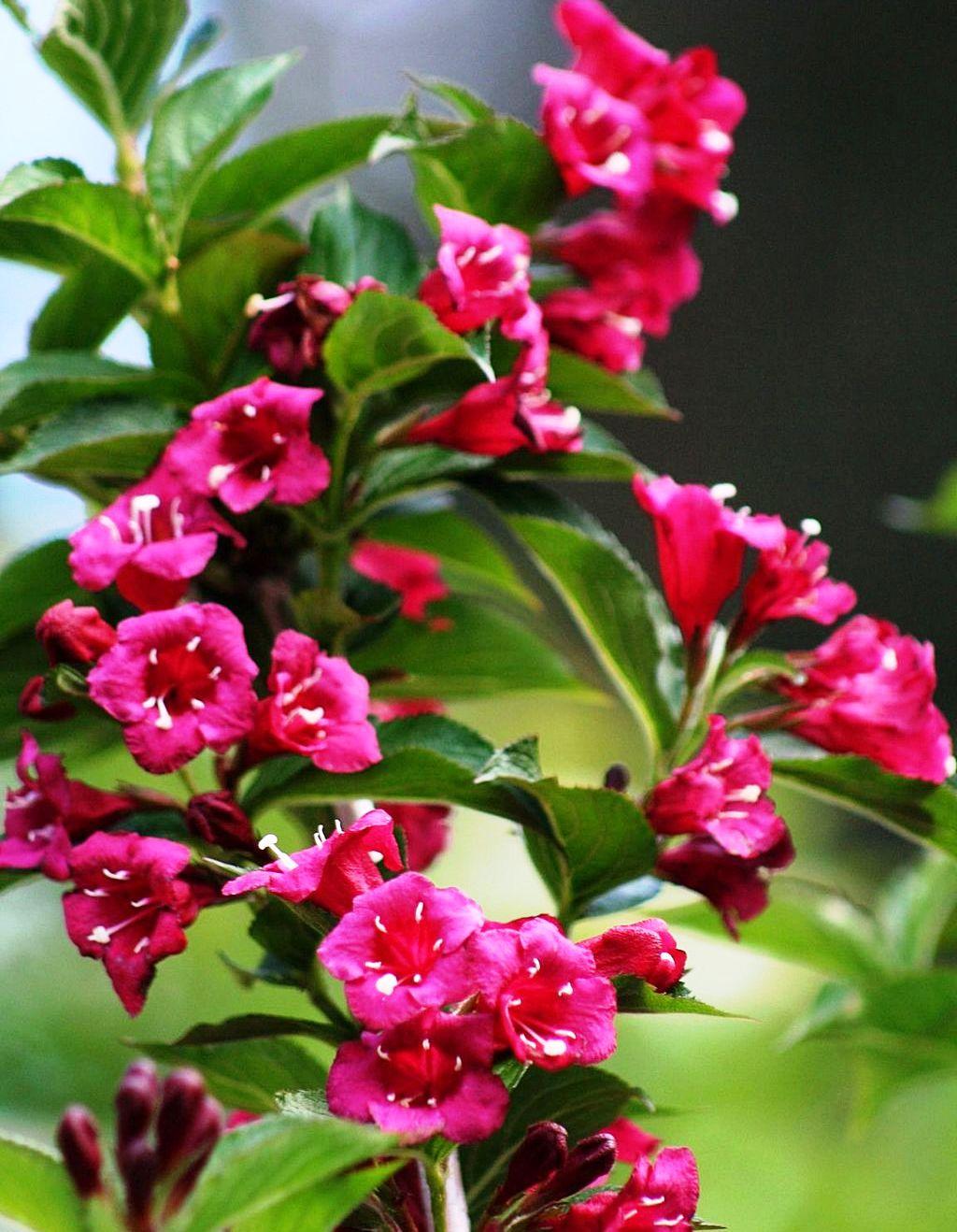 Piros virágú rózsalonc