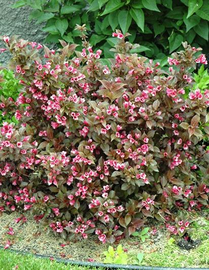 Törpe rózsalonc