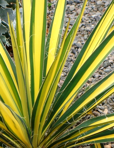 Csíkos levelű pálmaliliom